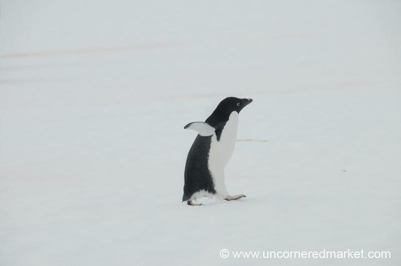 Penguin Taking a Stroll - Prospect Point, Antarctica