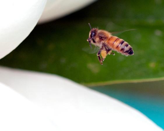 Magnolia Bees