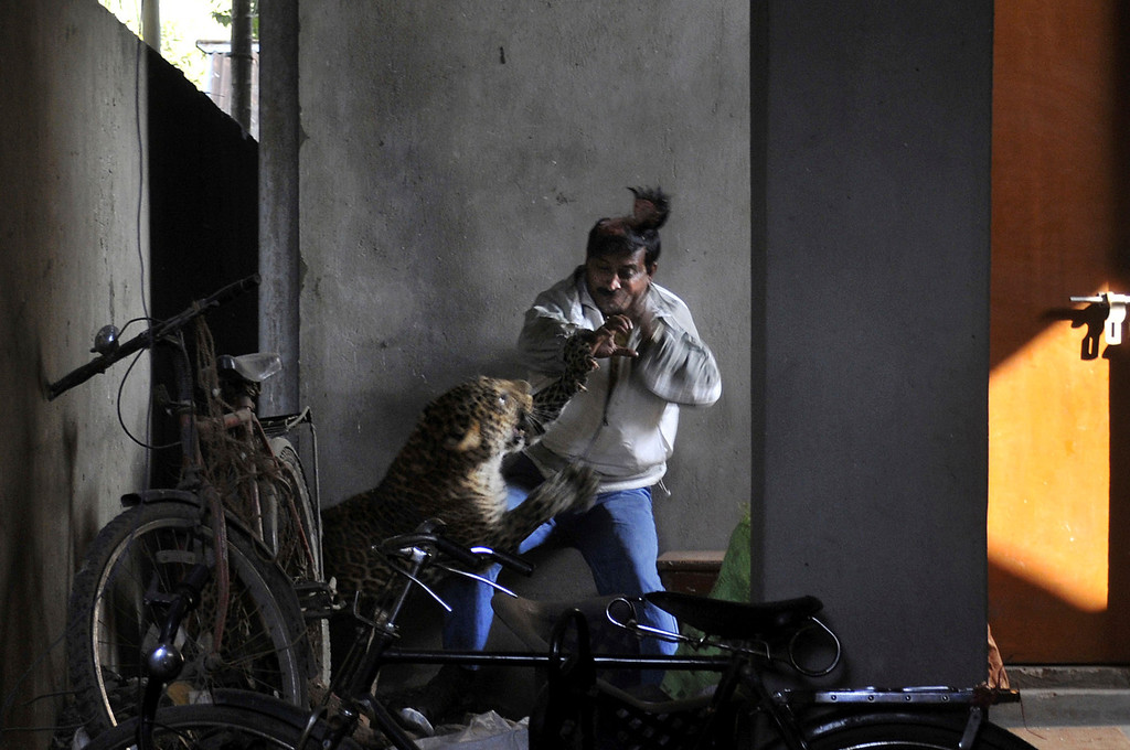 . In this Jan. 7, 2012 file photo, a wild full grown leopard scalps the head of a man as it attacks after wandering into a residential neighborhood in Gauhati, in the northern state of Assam, India. Later the leopard was tranquilized by wildlife official and taken to the state zoological park. The leopard ventured into a crowded area and injured four people before it was captured and caged. (AP Photo/Manas Paran, File)