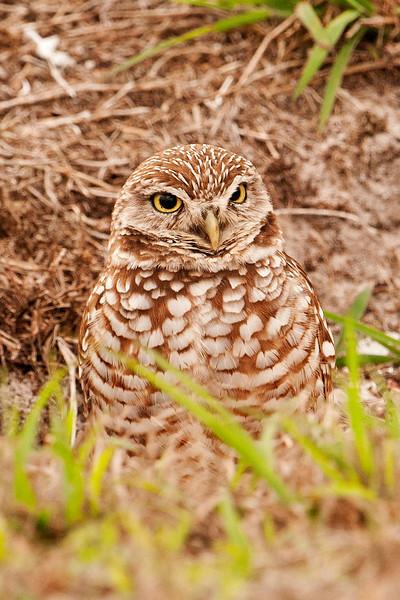 Owl - Burrowing - Cape Coral, FL - 02