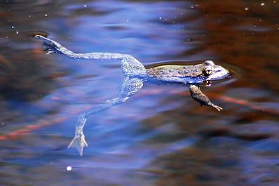 Sierra Yellow-legged Frog