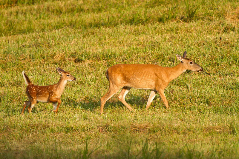 White tailed doe and fawn in pasture.