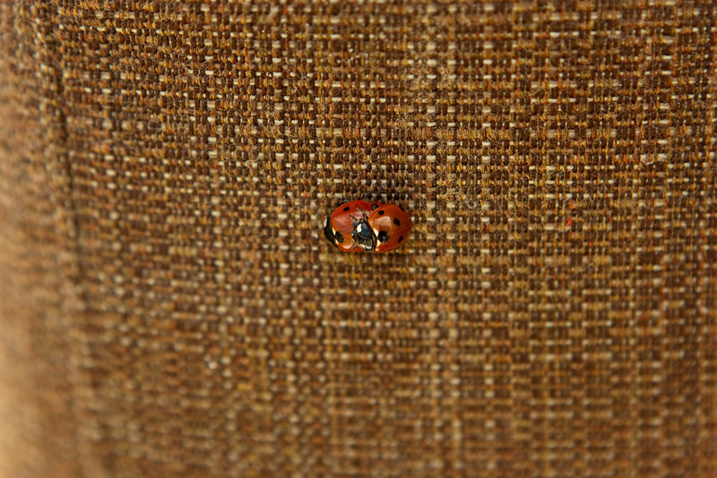 Nearby, ladybugs were found mating.