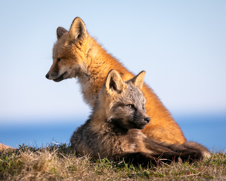 red fox and arctic fox 3470-.jpg