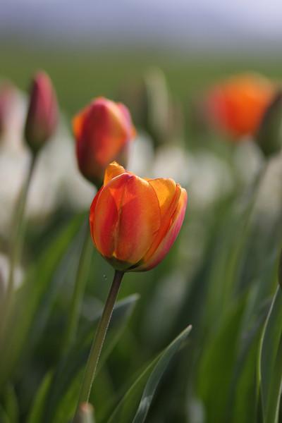Tulips-2010 28.JPG