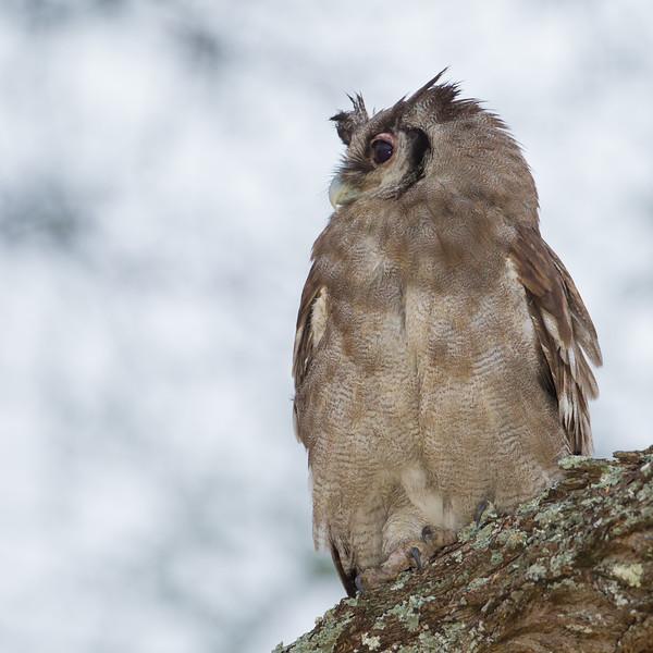 Verreaux's Eagle-Owl - Tarangire National Park, Tanzania