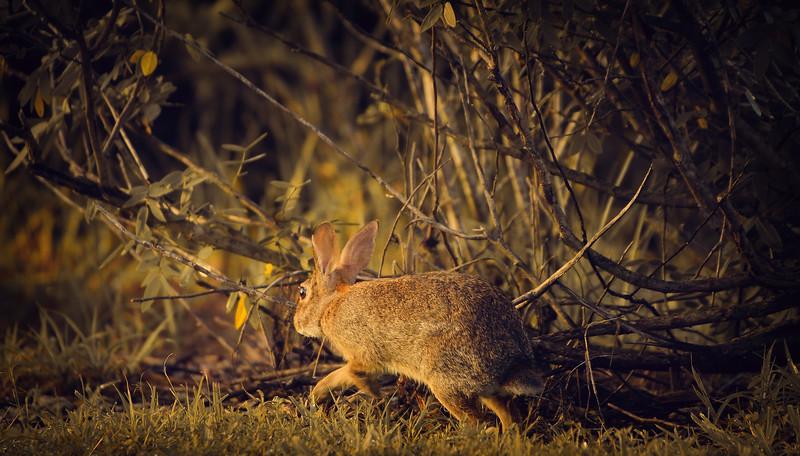 Florida Marsh Rabbit - 80.jpg