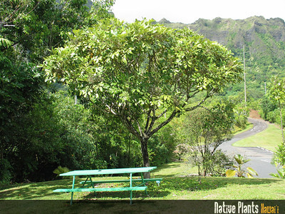 Tetraplasandra hawaiensis