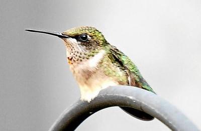 Humming_bird_044.jpg