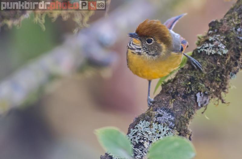 Chestnut-tailed Minla (Minla strigula)