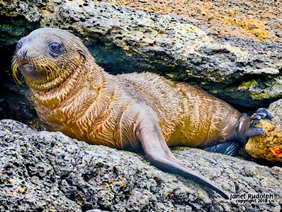 Baby sea lion 1S.jpg