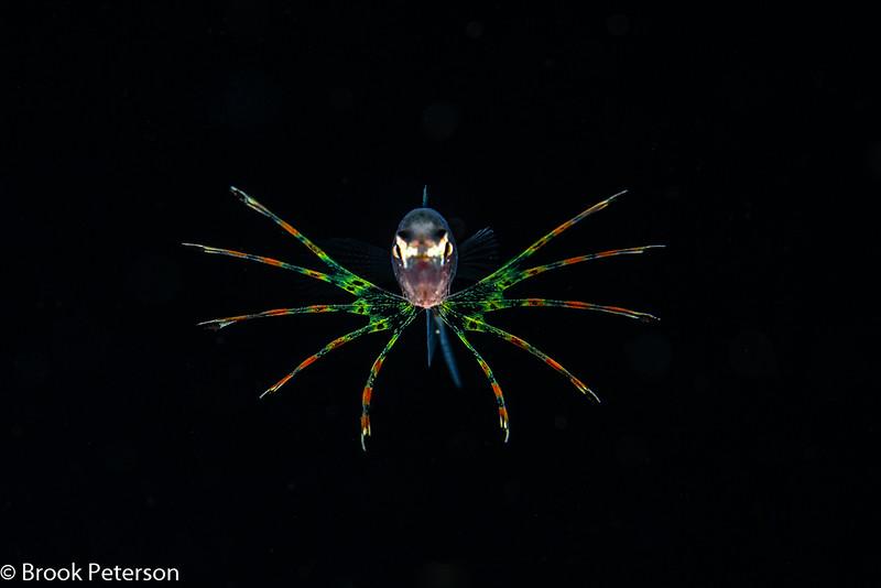 Larval Lion Fish