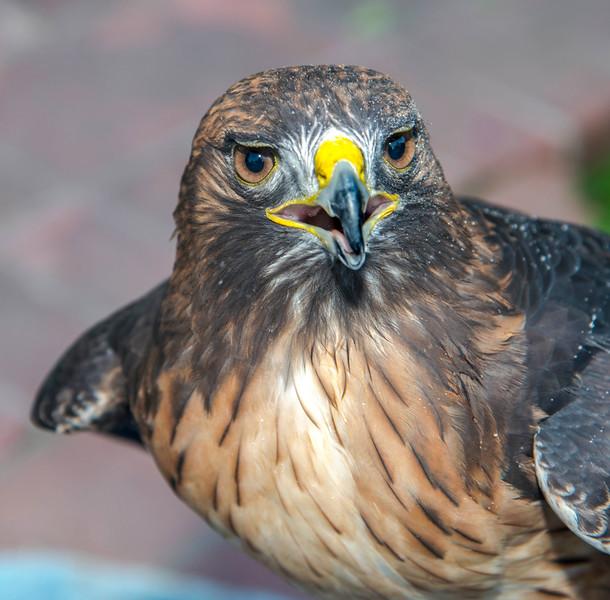 Hawks_Red Tailed-4.jpg