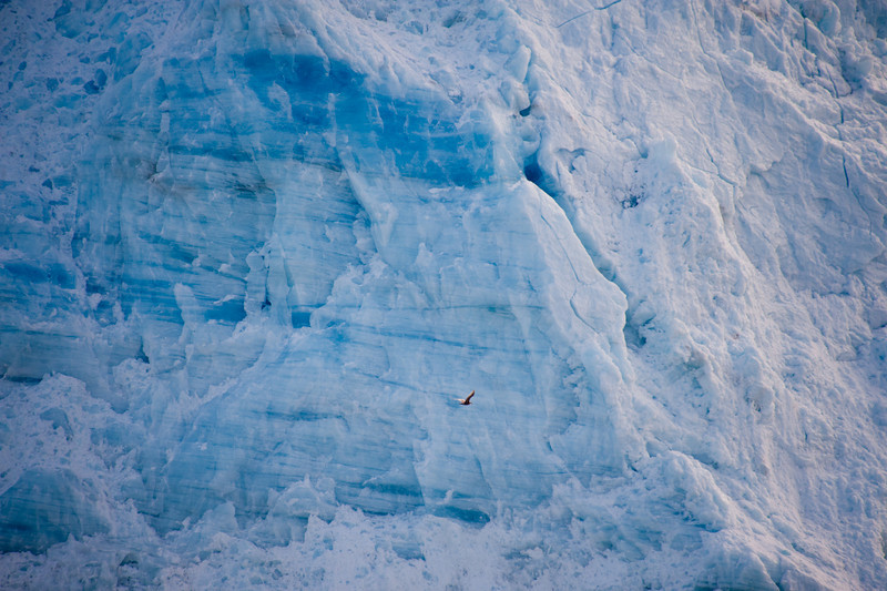 A large pelican-like bird flies by the face of the glacier.