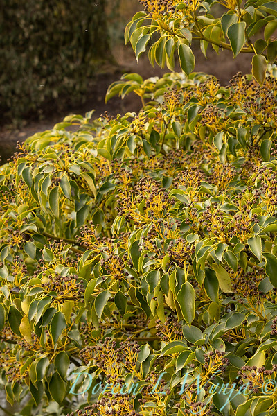 Trochodendron aralioides with seed heads_0588.jpg