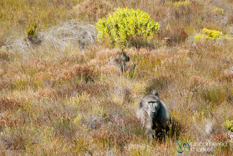Table Mountain National Park, Baboon - Cape Town, South Africa