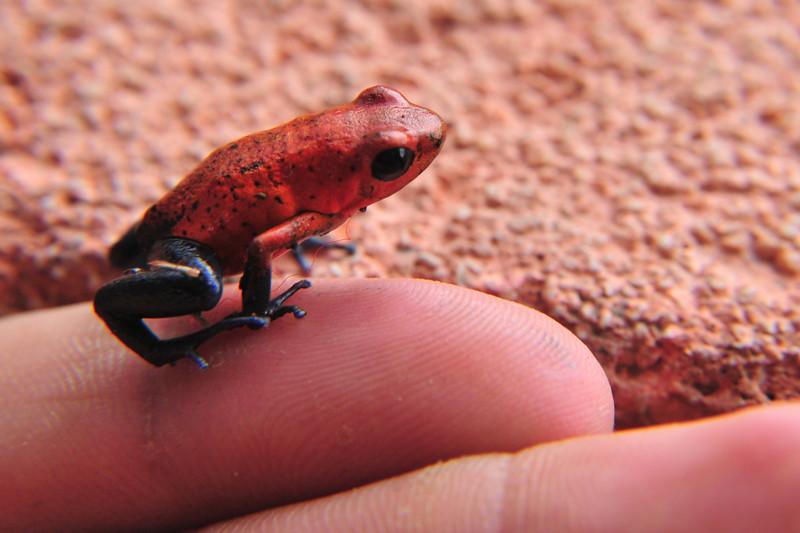 Strawberry dart frog.jpg