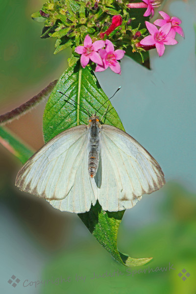 Great Southern White Butterfly.jpg