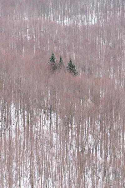 Three Pine Trees - Villa Minozzo, Reggio Emilia, Italy - March 7, 2020