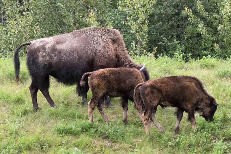 Wood Bison Yukon-1.jpg