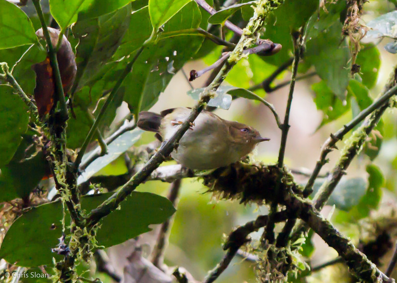 Papuan Scrubwren at Upper Tari Valley, Papua New Guinea (10-05-2013) 1663.jpg
