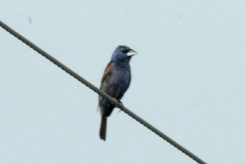 Blue Grosbeak @ Dalbow Road in O'Fallon