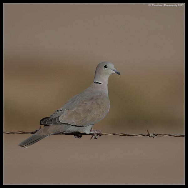Eurasian Collared Dove, on the west side of Calipatria State Prison, Salton Sea, Imperial County, California, November 2009