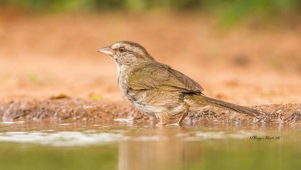 Olive Sparrow_DWL5616.jpg