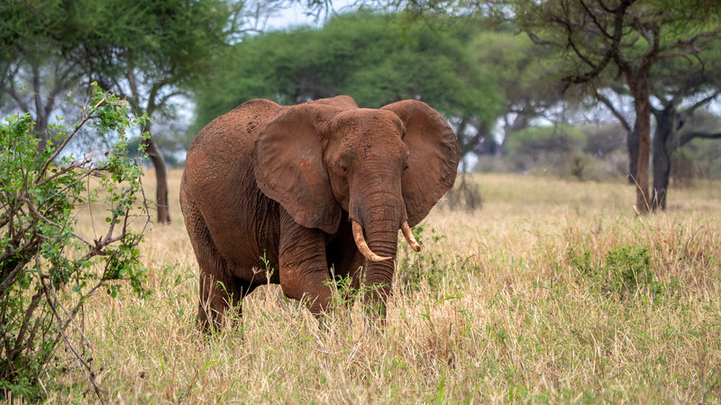 Tanzania-Tarangire-National-Park-Safari-Elephant-08.jpg