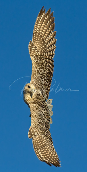 Gyrfalcon in a turn