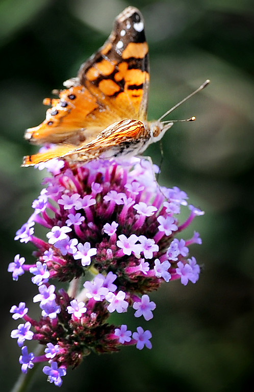 . A butterfly gathering the nectar of  a fragrant lavender to rose-purple flowers from a Verbena bonariensis plant at Muir Ranch. Each year Americans squander enough food to fill the Rose Bowl to the brim, about 160 billion pounds of food, according to Jonathan Bloom, author of �American Wasteland: How America Throws Away.� Muir Ranch,  is trying to reduce food waste through two acres of urban farm at John Muir High School in Pasadena Tuesday, May 21, 2013. Students can enroll in classes or get paid internships, and the school cafeteria as well as local community gets access to fresh, locally grown produce. Right now no government agency is measuring how much food is wasted, so experts say that it will be hard to diminish food waste, a problem that leads to environmental pollution and waste of the oil used to transport the goods.(SGVN/Photo by Walt Mancini)