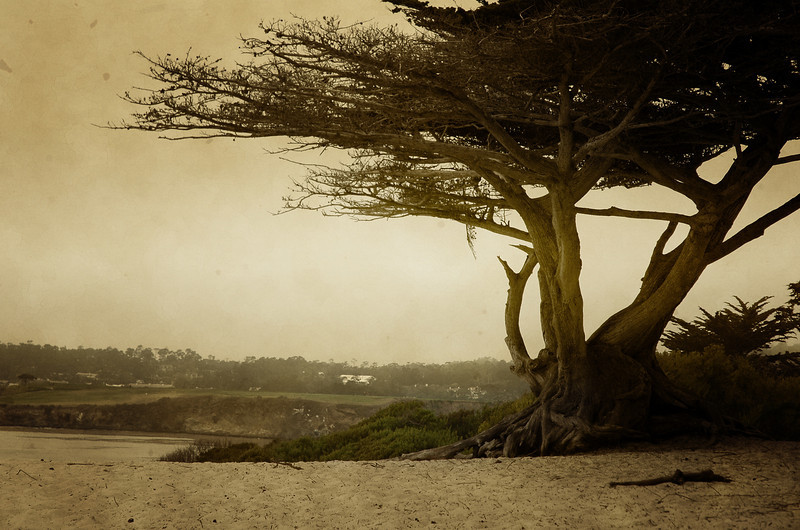The beautiful wind swept cypress trees and a little peak at Pebble Beach Golf Course In Carmel, California