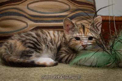 Chop It the Kitten