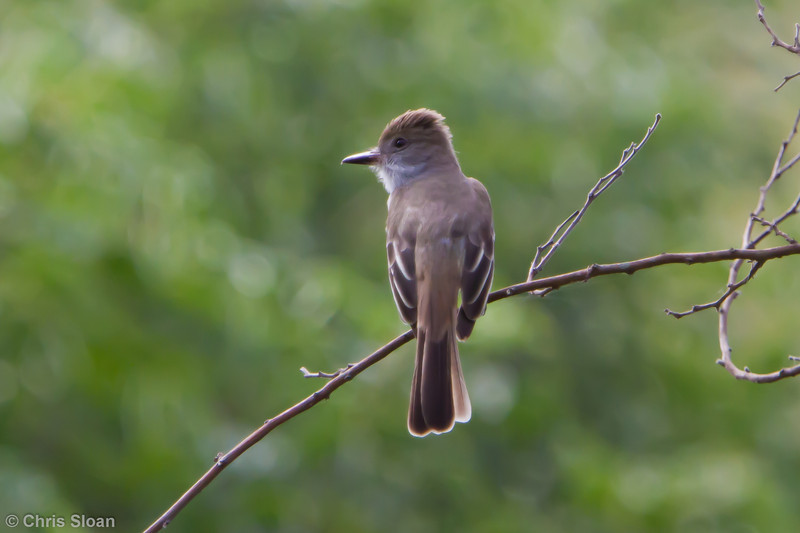 Brown-crested Flycatcher at Gotas de Agua, Cajamarca, Peru (06-29-2010) 928