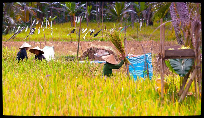 rice workers.jpg