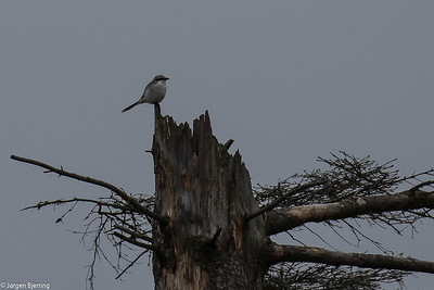 Shrikes - Tornskader