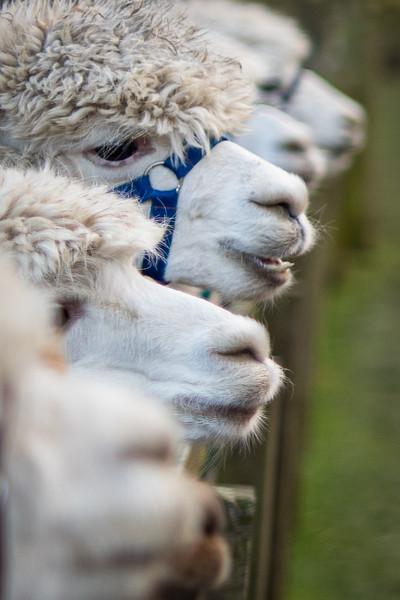 Beirhope alpacas 20-12-17