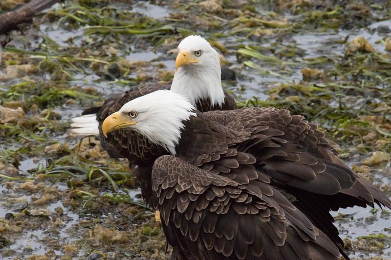 Ketchikan Eagles Spring 2019-7.jpg