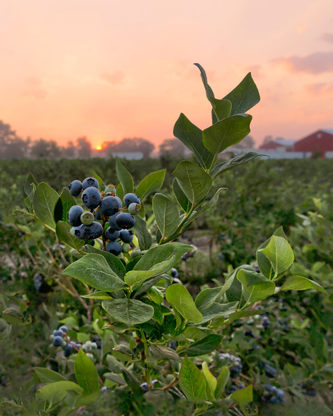 Blueberries,  Hammonton, NJ