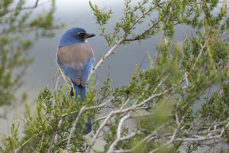 California Scrub Jay at Pinnacles