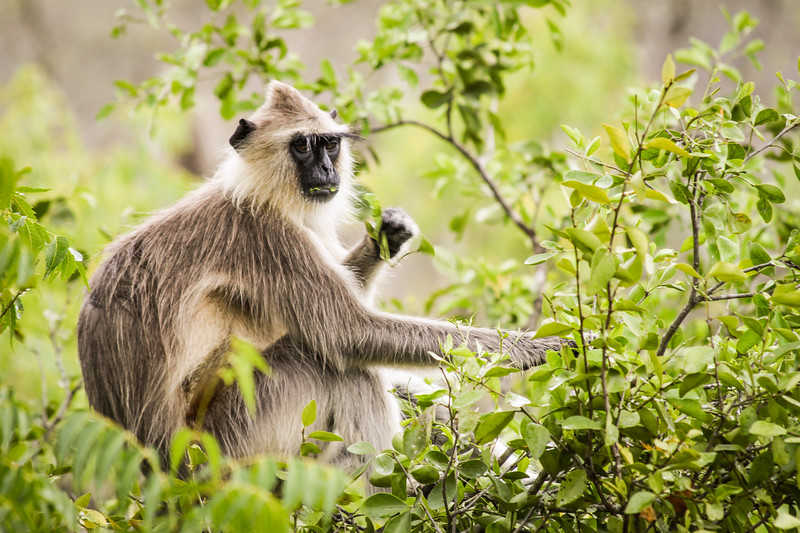 Grey Langur, Hanuman Langur,  (Semnopithecus entellus), Nilgiri Hills, South India