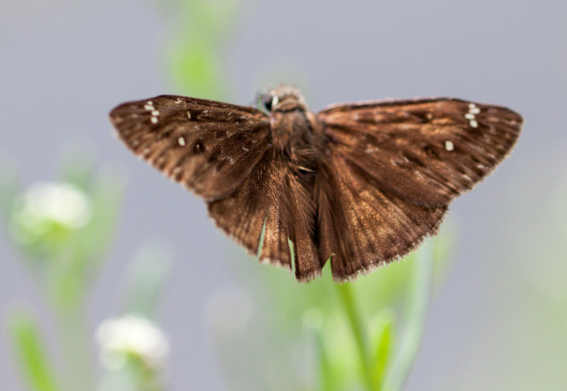 flying skipper