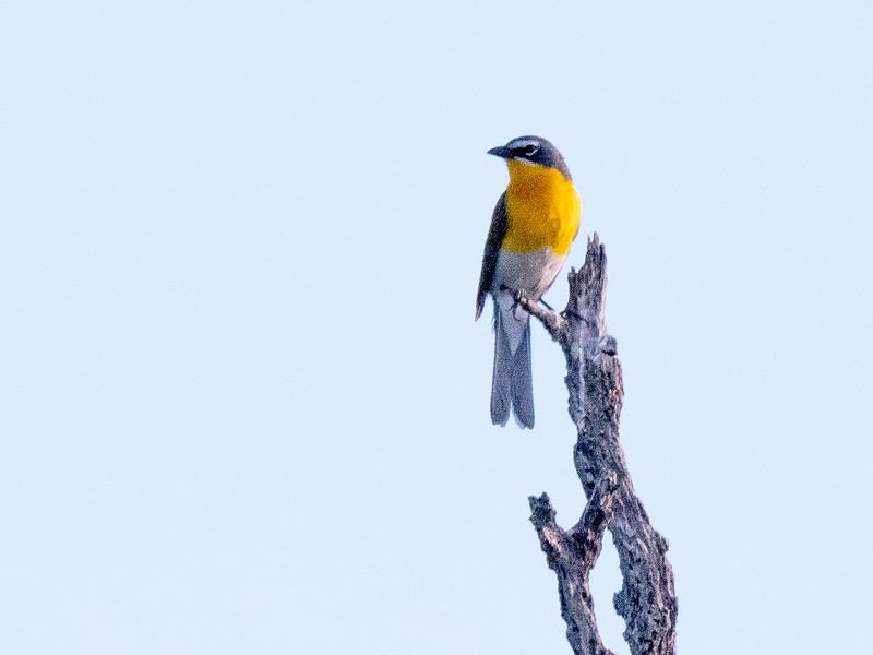 Yellow-breasted Chat San Pedro River southeast Arizona June 6-12 2019-1066745.jpg