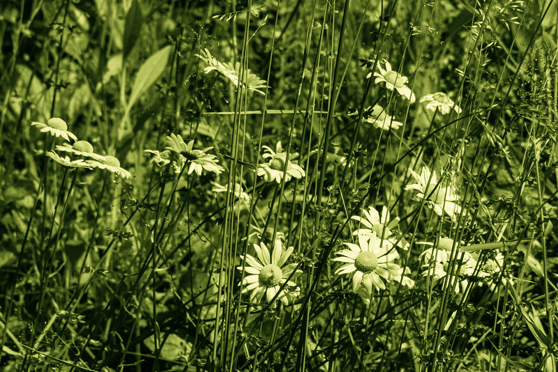 Daisies in Green