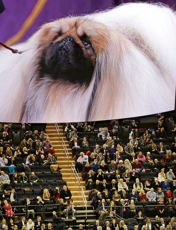 . Chuckie, a Pekingese, competes during Best in Show, as seen on a video screen at the 141st Westminster Kennel Club Dog Show on Tuesday, Feb. 14, 2017, in New York. (AP Photo/Frank Franklin II)