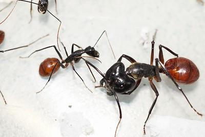 Exotic ant species