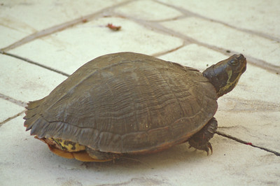05 Turtle looking for a Nest