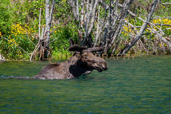 Bull Moose in Osburn, Idaho