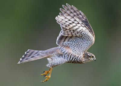 Spurvehauk / Sparrowhawk