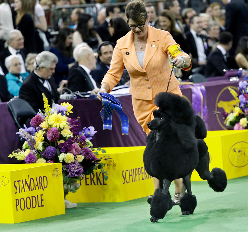 . Flame, a standard poodle, runs with it\'s handler in the ring after wining the nonsporting group competition at the Westminster Kennel Club dog show, Monday, Feb. 16, 2015, at Madison Square Garden in New York. (AP Photo/Mary Altaffer)